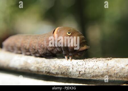 Pasqua Tiger Shallowtail caterpillar Foto Stock