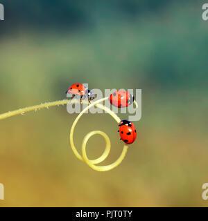 Tre piccoli ladybugs strisciando attraverso un labirinto di pale di erba in un prato estivo