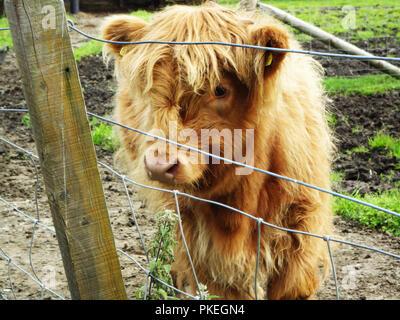 Baby highland mucca trovata in Scozia. Carino baby bovini su una fattoria Scotish. Foto Stock