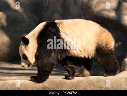 Panda gigante (Ailuropoda melanoleuca) femmina Foto Stock
