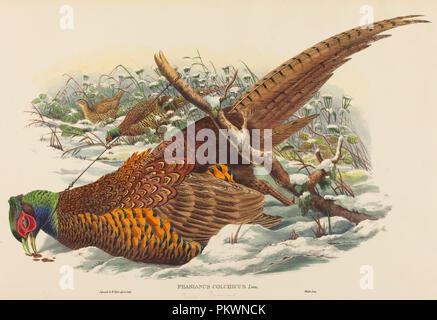 Phasianus colchicus (ring-Fagiano a collo alto). Medium: colorate a mano litografia. Museo: National Gallery of Art di Washington DC. Autore: John Gould e W. Hart.