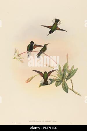 Callipharus nigriventris (rospo Hummingbird). Medium: colorate a mano litografia. Museo: National Gallery of Art di Washington DC. Autore: John Gould e W. Hart.