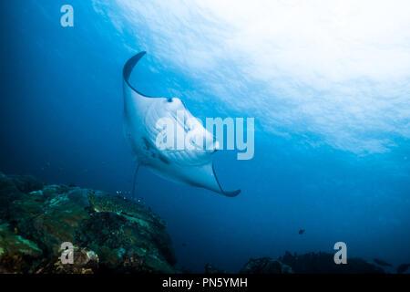 Manta ray. nuotare nell'oceano blu. Isola di Yap Gli Stati Federati di Micronesia Foto Stock