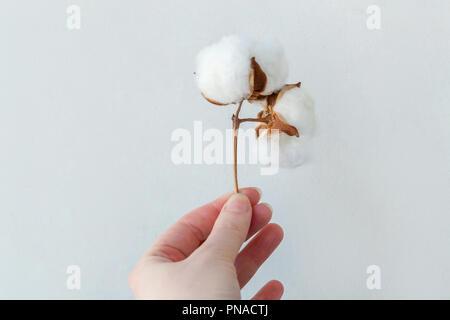 a1e45b20f7 Fiore di cotone su sfondo bianco Foto & Immagine Stock: 34008249 - Alamy