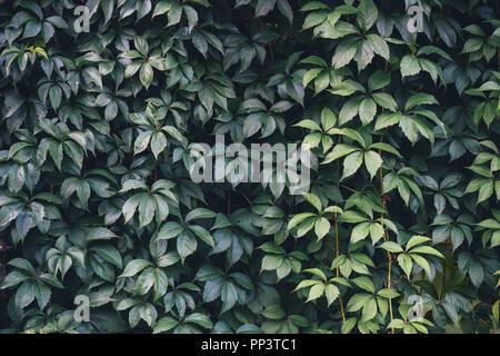 La consistenza delle foglie d'edera closeup. Parete Verde in giardino. Sfondo di giardinaggio Foto Stock