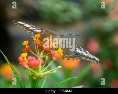 Testa sulla vista di un allevati in cattività tropical clipper butterfly, Parthenos sylvia, alimentando il milkweed, Asclepias currassavica Foto Stock