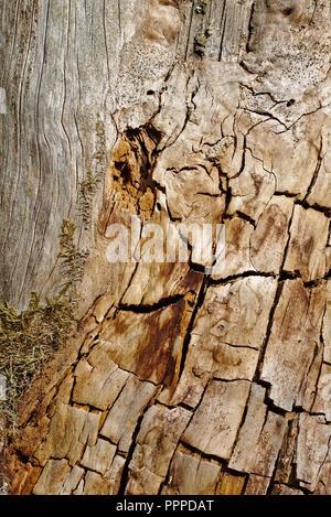 Il vecchio tronco di albero scortecciato con crepe e macchie di sera sun Foto Stock