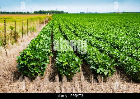 Un campo di soia con piante in crescita durante la metà di crescita in Kansas, Stati Uniti d'America. Foto Stock