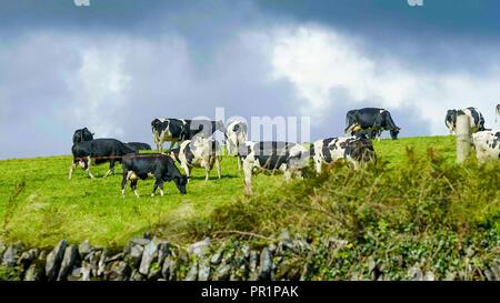 Tipico per l'Irlanda - mucche inerbimento su ampi campi verdi Foto Stock