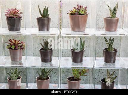 Scatole di Perspex che espongono una collezione di piante succulente crescente in ceramica vasi per piante, Sempervivum, Aloe 'Paradisicum', a casa, crescere, mangiare e rilassarsi, RHS Ma