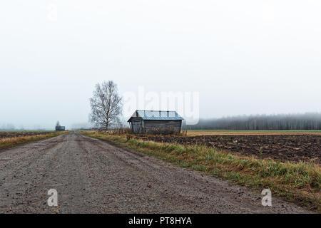 Un nudo betulla sorge da un vecchio fienile casa rurale la Finlandia. La mattina di autunno sono il freddo e la nebbia è in aumento dai campi. Foto Stock