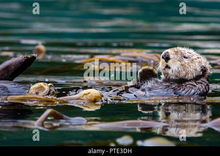 Sea Otter, Enhydra lutris, riposa in un letto di kelp nel sud-est dell Alaska Foto Stock