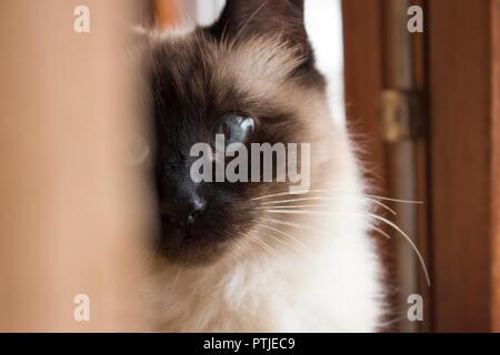 Gatto Siamese Gatto Con Grandi Bellissimi Occhi Azzurri E Faccia