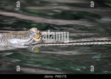 Piercing occhio giallo di un coccodrillo gharial. Foto Stock
