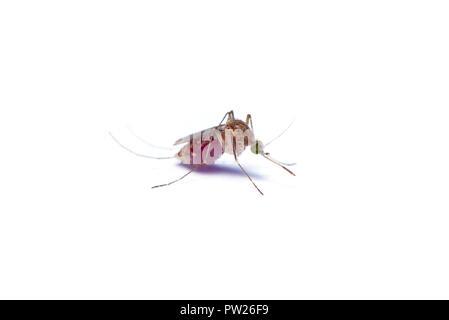 Asian Zanzara Tigre Con Bellyful Di Sangue Isolati Su Sfondo Bianco