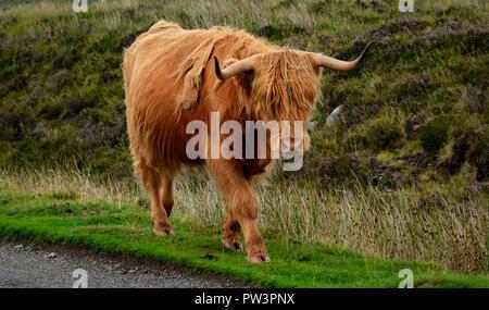 Highland Moo Coo Foto Stock