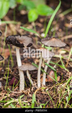Gruppo di piccoli funghi selvatici 2 Foto Stock