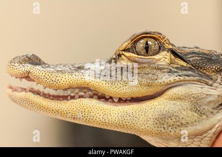 Caimano comune (crocodilus Caimano) alligator Close up della bocca e degli occhi Foto Stock