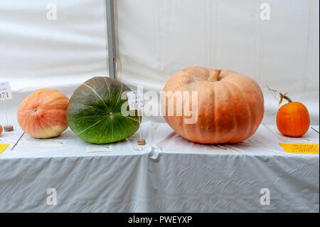 Grandi e piccole zucche sul display su un tavolo bianco in un rettangolo di selezione in una città mostra. Foto Stock