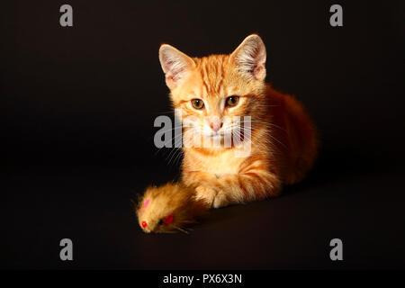 Lo zenzero sgombri tabby12 settimane vecchio cucciolo isolata su uno sfondo nero gioca con un giocattolo mouse