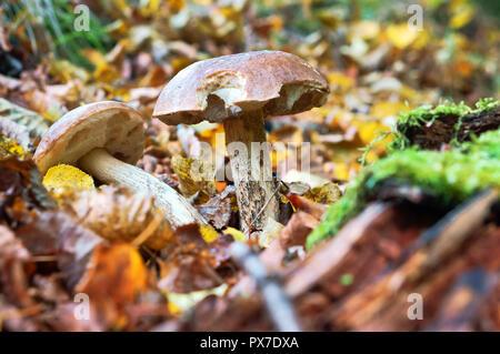 Due funghi crescono, funghi in erba in autunno Foto Stock