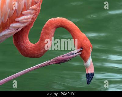 American Flamingo Phoenicopterus ruber graffiare Captive fotografia Foto Stock