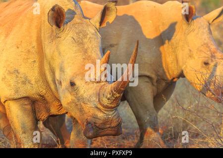 Dettaglio del corno di rinoceronte bianco, Ceratotherium simum, chiamato anche il camuffamento rinoceronte alla luce del tramonto in piedi di bushland habitat, Sud Africa. I rinoceronti è parte delle Big Five. Foto Stock