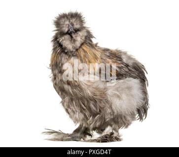 Silkie hen, talvolta scritto setosa, in piedi contro lo sfondo bianco Foto Stock