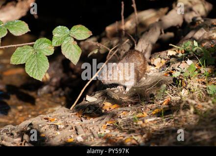Brown Rat Rattus norvegicus, nei boschi, Hampstead Heath, Londra, Regno Unito, Isole britanniche Foto Stock