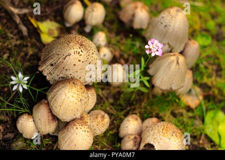 Una immagine di un cluster di funghi/funghi che crescono in un giardino con due fiori da giardino crescente tra i cluster. Foto Stock