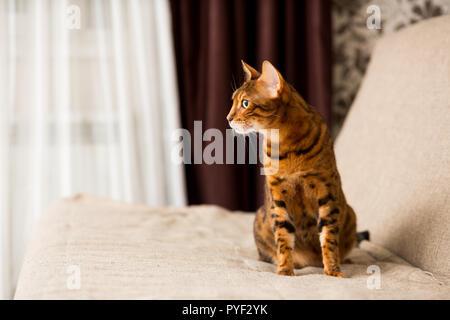 Adulto gatto bengalese seduta sul lettino Foto Stock