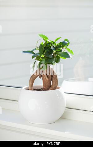 Houseplant ficus microcarpa ginseng in vaso bianco Foto Stock