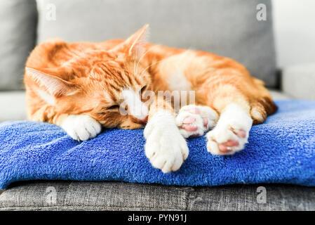 Un bel rosso gatto sdraiato e un momento di relax a casa. Foto Stock