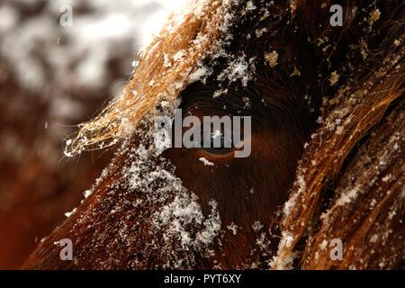 Chiudere dettagliata su ritratto di un marrone nevoso a cavallo e in inverno Foto Stock