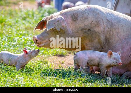 Un bambino piglet guarda al suo seminare la mamma per comodità su un intervallo libero allevamento di suini in Nuova Zelanda Foto Stock