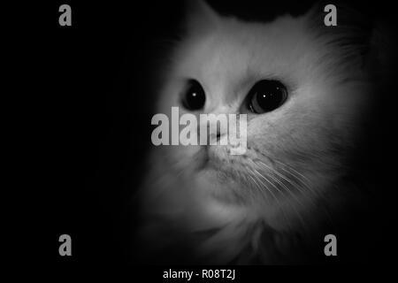 In bianco e nero e isolare il portrait di persiano di capelli lunghi cat Foto Stock
