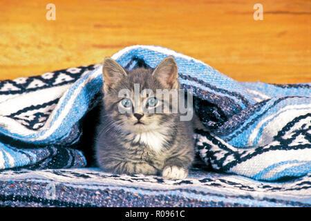 Gattino grigio tabby posa sotto la coperta in casa, guardando Foto Stock