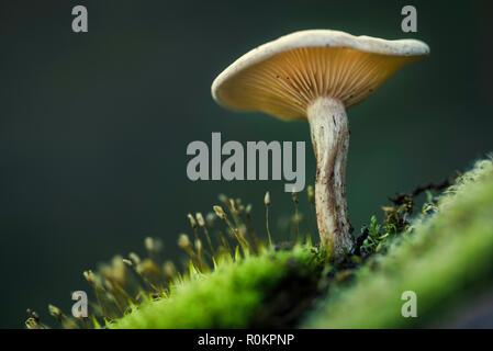 Piccolo fungo visto dal basso tra il verde muschio Foto Stock