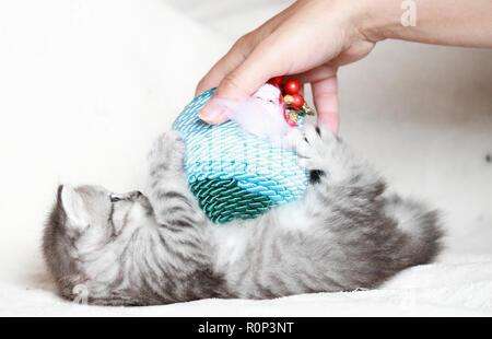 Adorabile cucciolo gatto nel tempo di Natale, giocando con la mano della donna Foto Stock