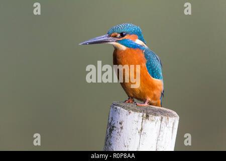 Kingfisher (Alcedo atthis) close up appollaiato sul post destra nella parte anteriore del bird nascondere. Grande pugnale come black bill (maschio) blu elettrico e il piumaggio di colore arancione. Foto Stock