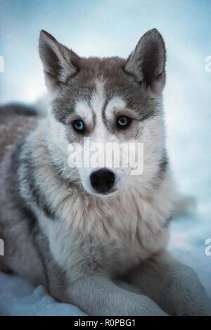Cucciolo di husky con gli occhi blu che giace sulla neve foto immagine stock 129247763 alamy - Husky con occhi diversi ...