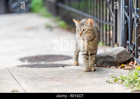 Stray tabby gatto con gli occhi verdi camminando sul marciapiede strade di New Orleans, in Louisiana da recinzione metallica Foto Stock