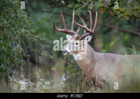 Una matura buck culbianco deer permanente al bordo di una foresta. Foto Stock