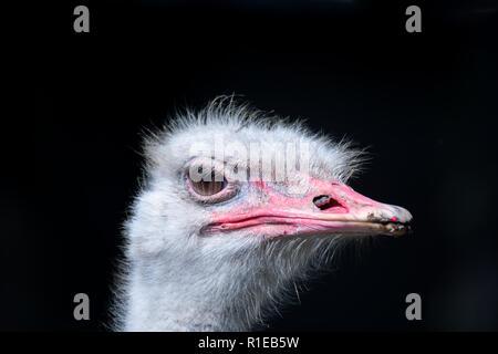 Big Eye vista laterale di tall uccello struzzo