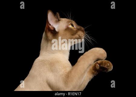 Simpatico Ritratto di Brown Birmania gatto in vista di profilo, sollevando soft paws isolati su sfondo nero Foto Stock