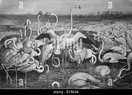 Digital riproduzione migliorata, fenicotteri o i fenicotteri, un tipo di trampolieri nella famiglia Phoenicopteridae, originale stampa da l'anno 1880 Foto Stock
