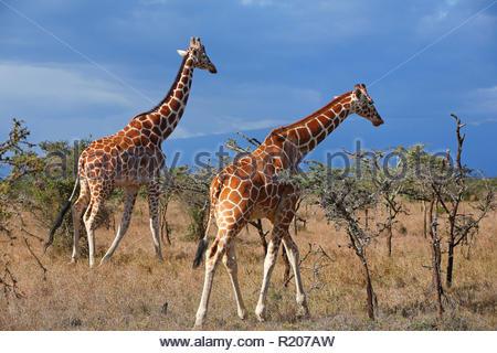 Due Giraffe (Giraffa camelopardalis) alla savana di Samburu riserva nazionale, Kenya, Africa Foto Stock