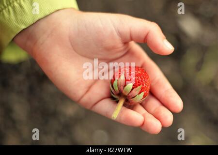 Baby mano impugna uno fragole mature berry, vista dall'alto Foto Stock