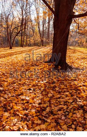 Il fogliame di autunno foglie di acero caduti da alberi decidui in calo il colonnello Danforth Park di Toronto Ontario Canada. Foto Stock