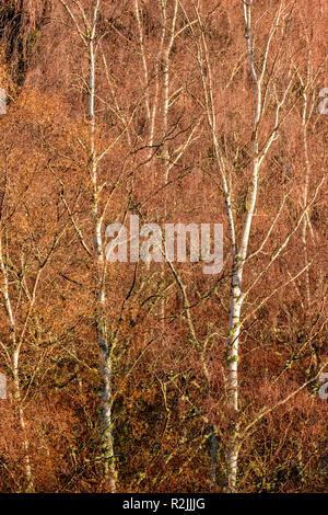 Argento di betulle in inverno Betula pendula l'argento bianco o tronchi di alberi Foto Stock